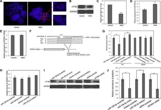 MiR-128-3p directly targets SPTAN1 via translational repression.