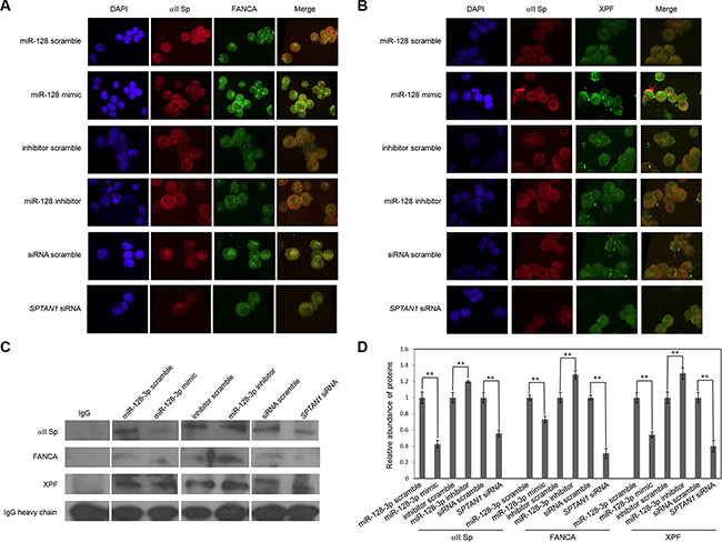 MiR-128-3p disrupts co-localization and interaction of FANCA, XPF and αII Sp.