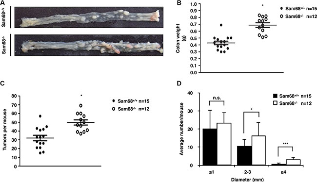 Sam68-deficent mice showed higher AOM-induced tumor burden and size.