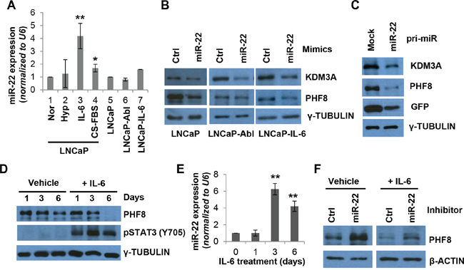 miR-22 mediates the regulation of PHF8 induced by IL-6.