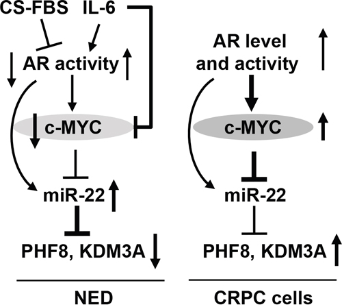 Schematic illustration of the mechanisms underlying the regulation of PHF8 and KDM3A by AR, MYC and miR-22.