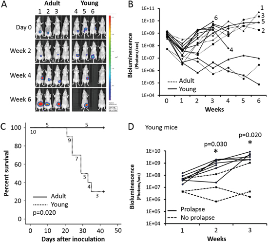 Adult versus young mice orthotopically injected with COLO320DM.
