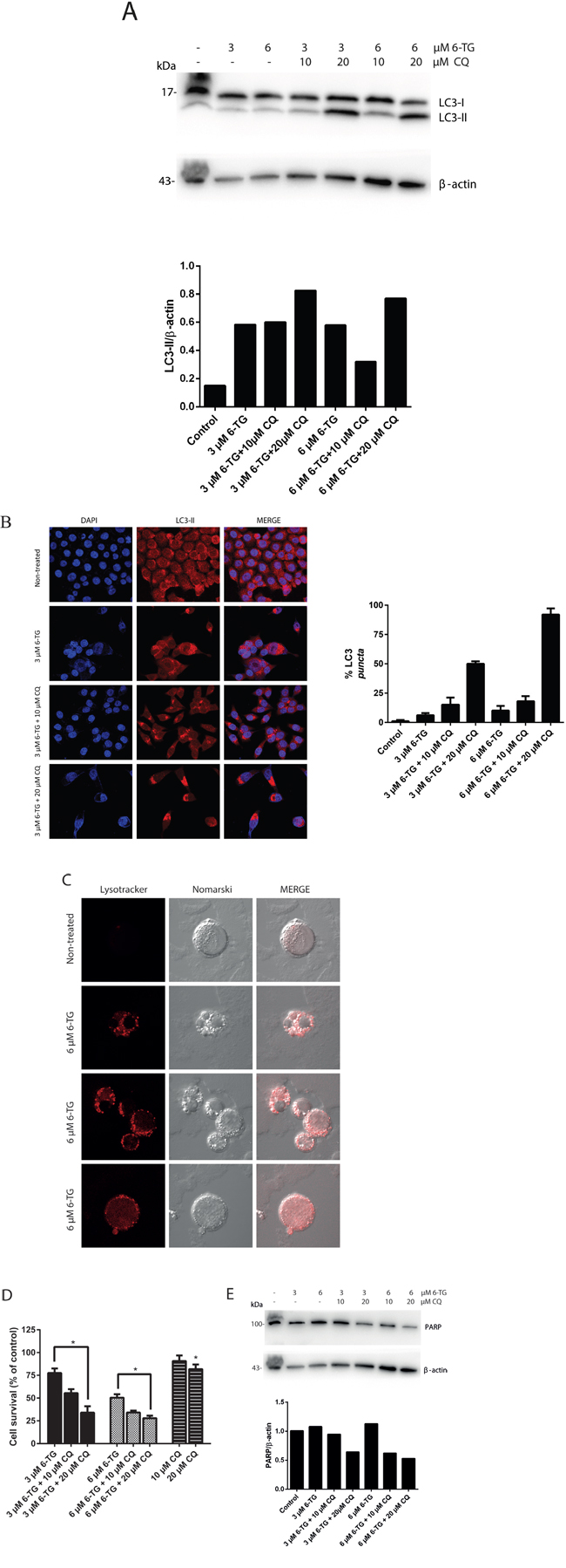 Suppression of autophagy by chloroquine sensitizes 6-TG mediated cell death in colorectal cancer cell lines.