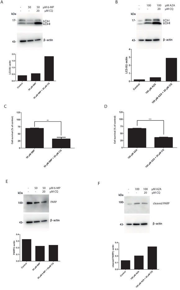 Suppression of autophagy by chloroquine sensitizes 6-MP and AZA mediated cell death in colorectal cancer cell lines.