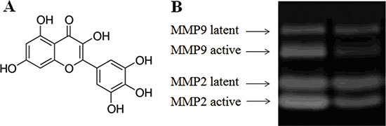Effect of myricetin on the formation of active MMPs as determined by MMP zymography assays Legend.