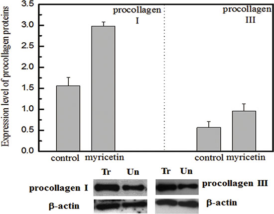 Effects of myricetin on procollagen I and III Legend.