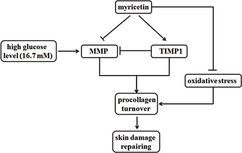 Functions of myricetin on MMPs/TIMP1 regulation and oxidative stress.
