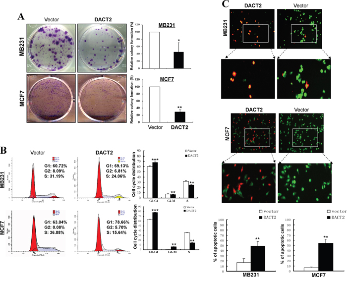 Growth inhibitory effect of DACT2 on breast cancer cell lines.