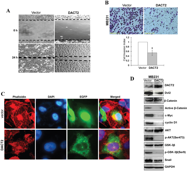 Ectopic expression of DACT2 inhibited the migration and invasion of breast tumor cells.