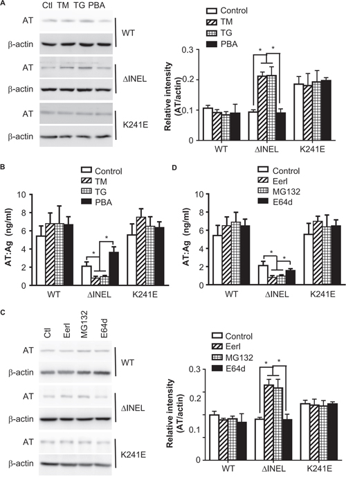 Enhanced ER stress contributes to AT deficiency by promoting AT degradation.