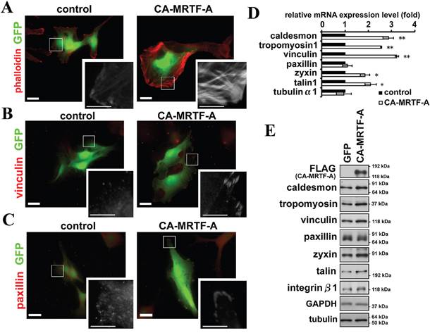 Activation of MRTF-A-dependent transcription induces reorganization of the actin cytoskeleton and FAs.