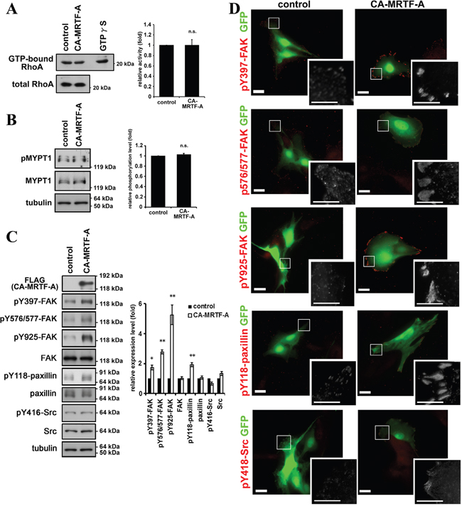 Activation of MRTF-A-dependent transcription induces the phosphorylation of FAK and paxillin.