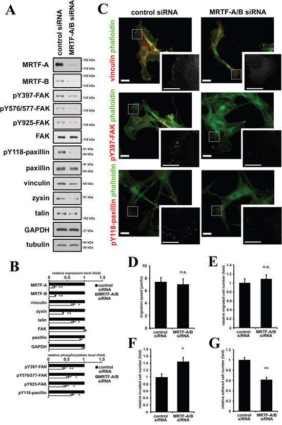 Inactivation of MRTF-dependent transcription suppresses cell adhesion in association with decreased phosphorylation levels of FAK and paxillin.
