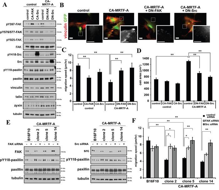 Inactivation of FAK or Src tyrosine kinase abrogates the CA-MRTF-A-induced phenotypes.