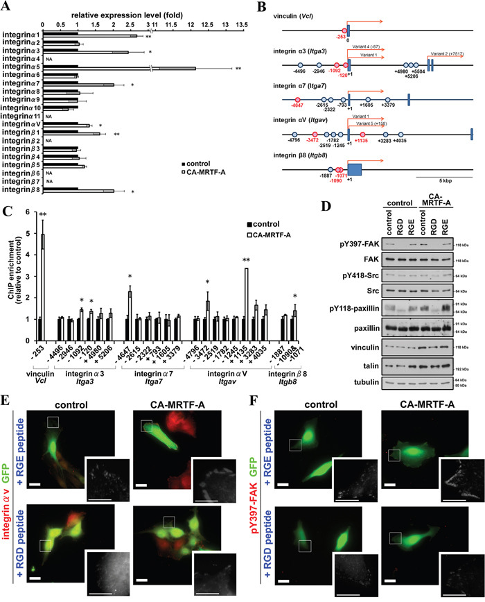 CA-MRTF-A expression induces expression of integrins and promotes integrin clustering-dependent FAK activation.