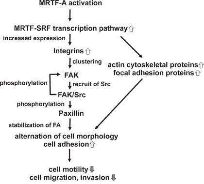Schematic models showing the mechanism by which CA-MRTF induces changes in B16F10 melanoma cell migration and morphology.
