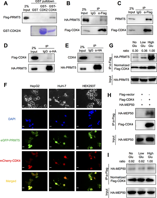 PRMT5 interaction with CDK4.