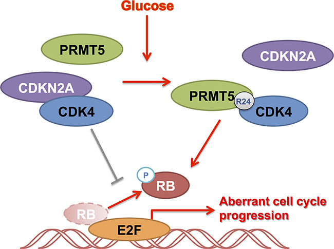 Summary of the role of PRMT5 and CDK4 in HCC cell cycle regulation.