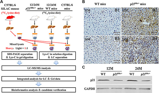 Large-Scale protein profiling of the p21HBx/+ transgenic mice and their WT littermates with SILAM approach.