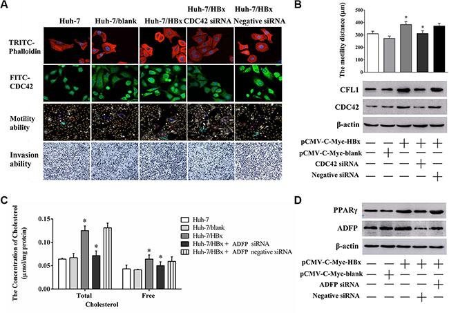 The changing of cell migration, invasion ability and lipid metabolism through knock down CDC42 or ADFP expression.
