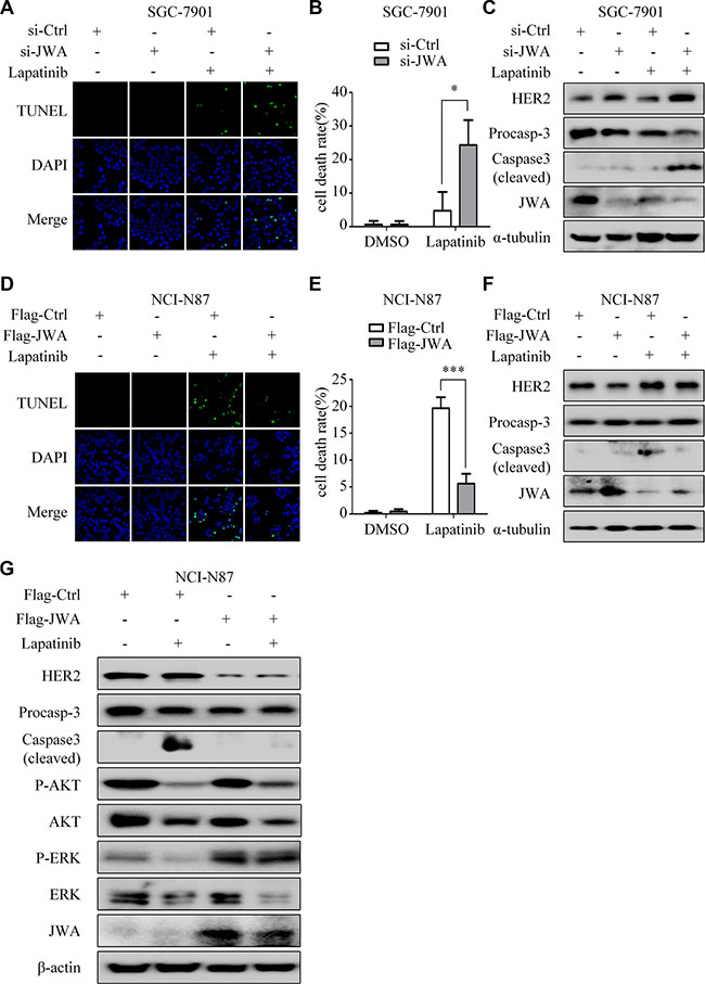 JWA mediates lapatinib resistance by negatively regulating HER2.