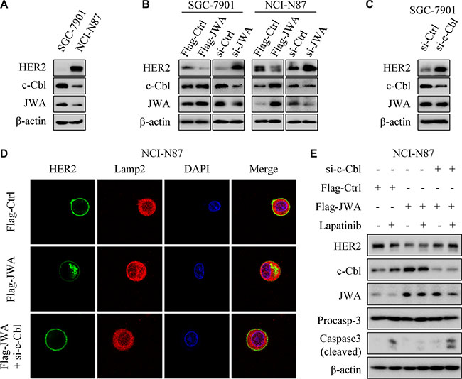 JWA negatively regulates HER2 expression via c-Cbl in GC cells.