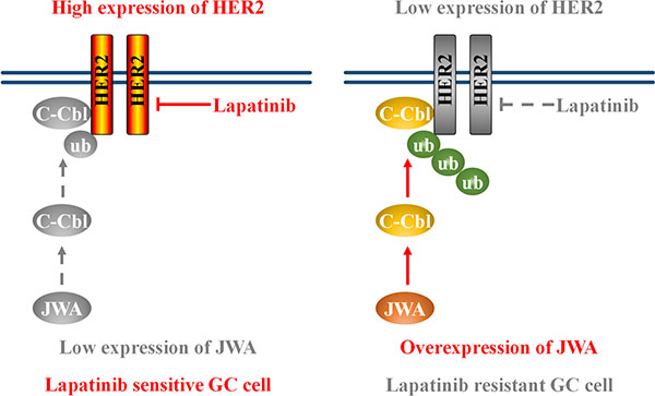 Schematic model of the JWA/c-Cbl/HER2 pathway's role in lapatinib resistance.