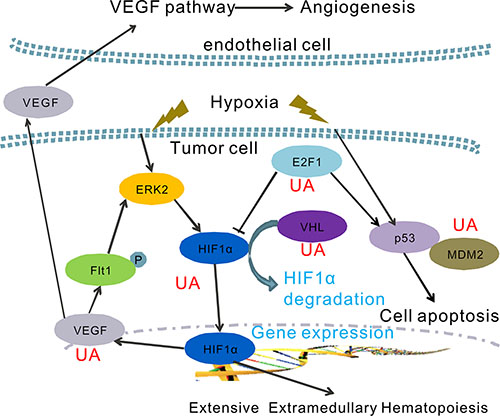 A hypothetical model of the functions of UA on the regulation of hypoxia pathway.