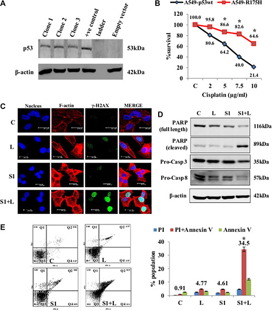 Cell death and DNA damage in response to treatment in A549/p53 dominant-negative cells.