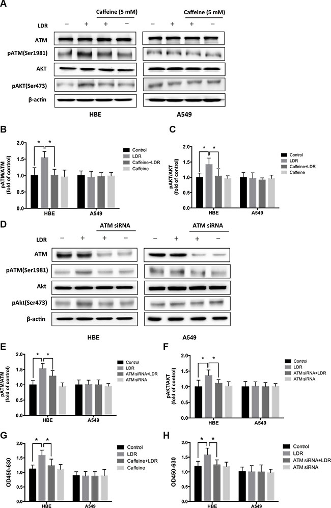 LDR induces ATM and AKT phosphorylation in HBE cells but not in A549 cells.