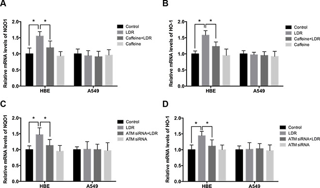 LDR increases transcript levels of Nrf2-dependent antioxidants via ATM-mediated signaling in HBE cells but not in A549 cells.