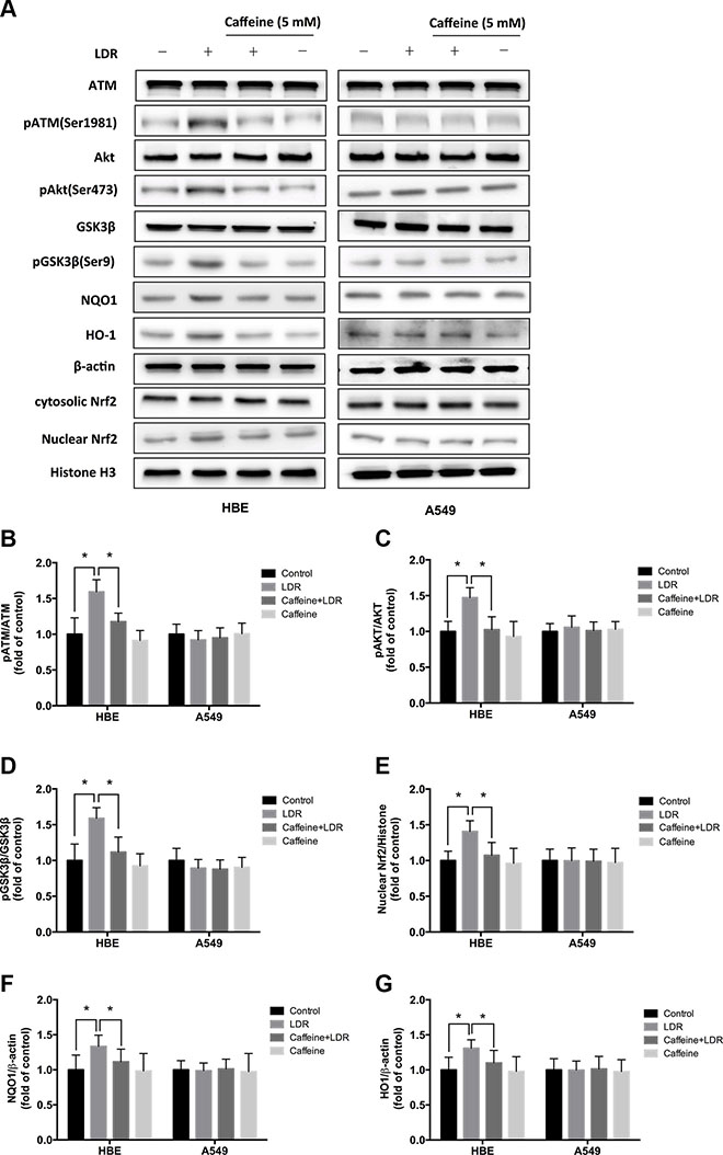 ATM inhibition with caffeine abolished LDR-induced phosphorylation of AKT and GSK-3β, nuclear accumulation of Nrf2, and expression of antioxidants in HBE cells but not in A549 cells.