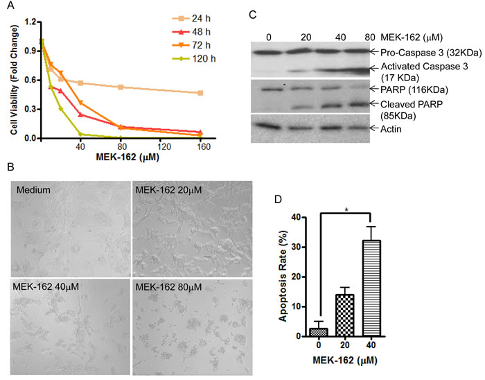 MEK-162 treatment inhibits murine pituitary corticotroph tumor cell proliferation
