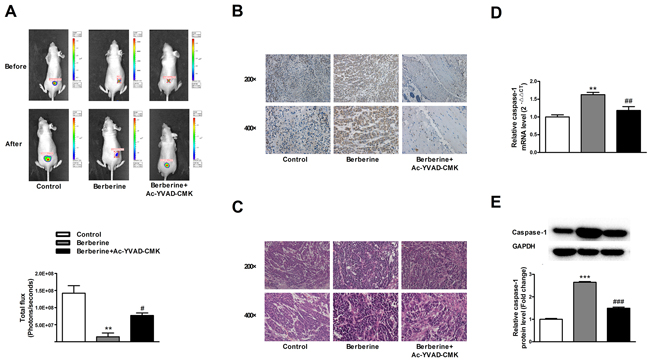 Caspase-1 inhibitor abolishes the beneficial effects of berberine on xenograft tumors in nude mice.