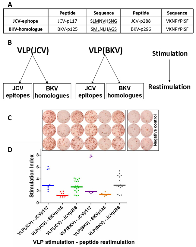 JCV-specific CD8+ T cells are cross-reactive towards VP1 protein VLPs derived from both JCV and BKV.