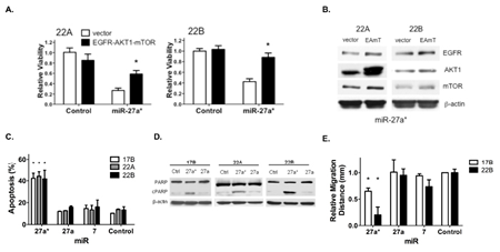 Overexpression of EGFR axis signaling components reverses the loss of HNSCC cell viability mediated by miR-27a*, which increases apoptosis and reduces migration.