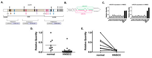miR-27a* has putative binding sites in EGFR mRNA and shows decreased expression in HNSCC cell lines and human tumor tissues.