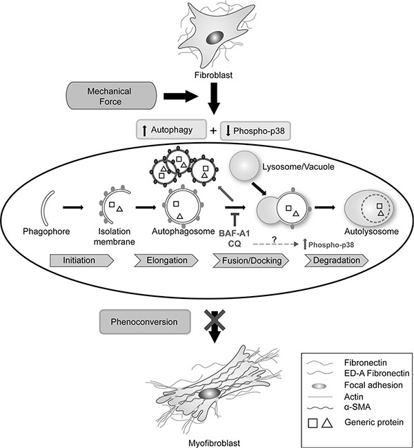 Schematic of the relationship between autophagy and cardiac fibroblast-to-myofibroblast phenoconversion.