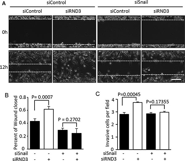 Knockdown of Snail1 diminished the promotion of RND3 deficiency-induced GBM cell migration and invasion.