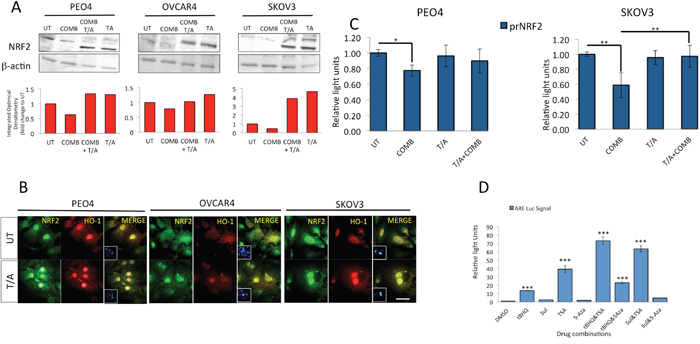Inhibition of HDAC and DNA Methyl Transferase induce NRF2 protein levels, causes nuclear localization of NRF2 and HO-1, disrupts both targeted immunotherapy dependent NRF2 protein and transcriptional repression, and activates NRF2 dependent antioxidant transcriptional response program.