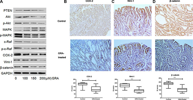 GRA decreased the expression of canonical Wnt pathway genes.
