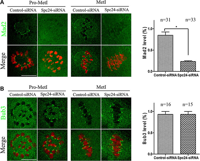 Mad2-mediated SAC inactivation in Spc24-depleted oocytes.