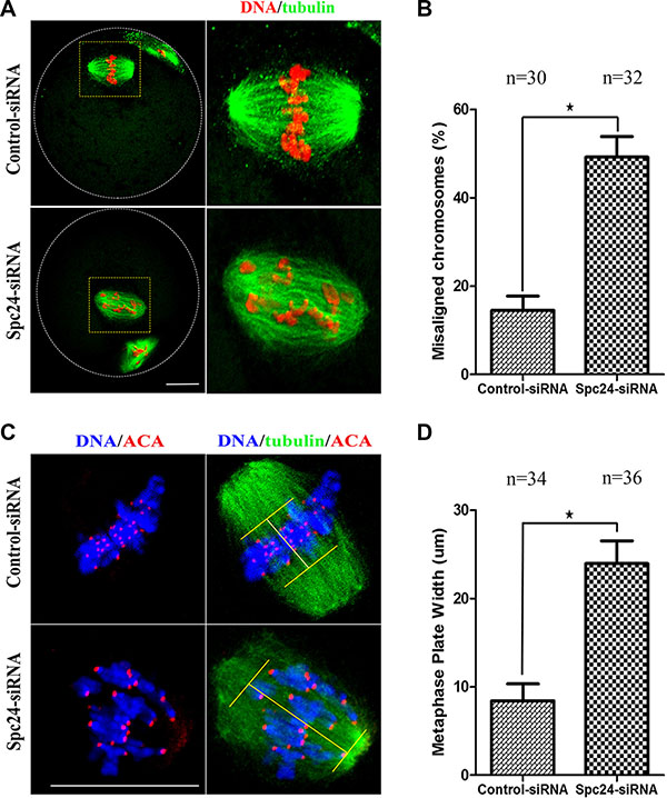 Loss of Spc24 causes misaligned chromosomes in meiotic oocytes.