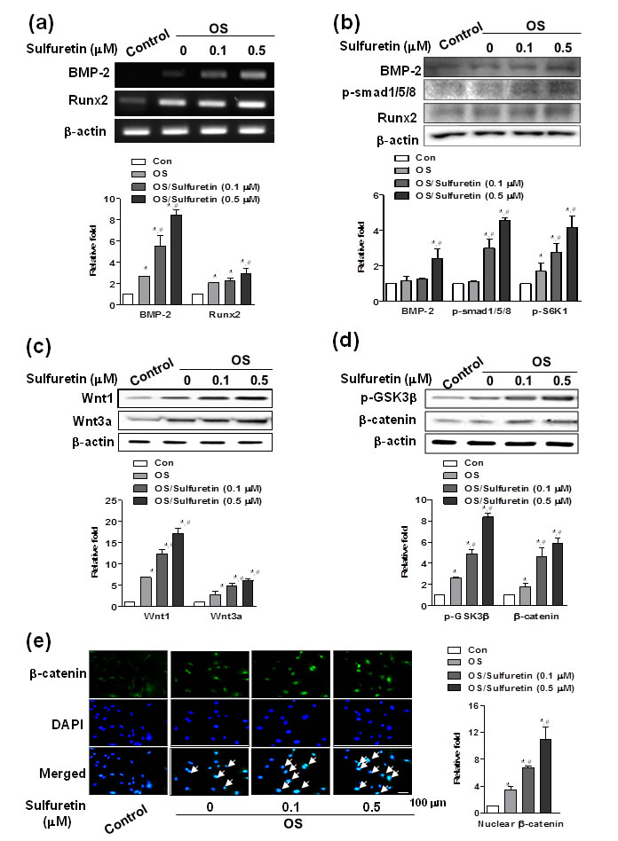 Effects of sulfuretin on the BMP and Wnt/β-catenin pathway in primary osteoblasts.