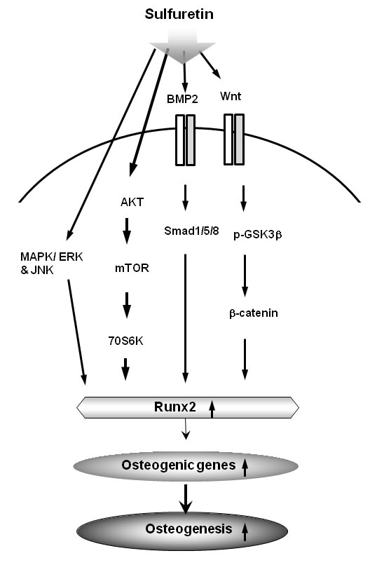 Schematic diagram illustrating that sulfuretin can induce osteoblastic differentiation and