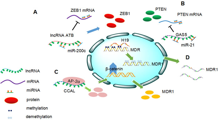 Overview of the involvement of long non-coding RNAs (lncRNAs) in cancer drug resistance.