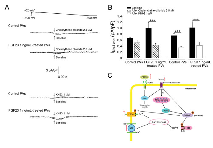 Signaling pathway and proposed mechanism of FGF23 on the modulation of