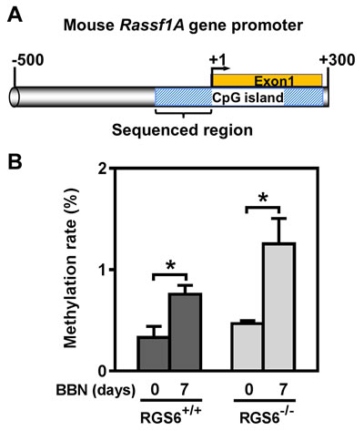 BBN induces methylation of a CpG island within the mouse