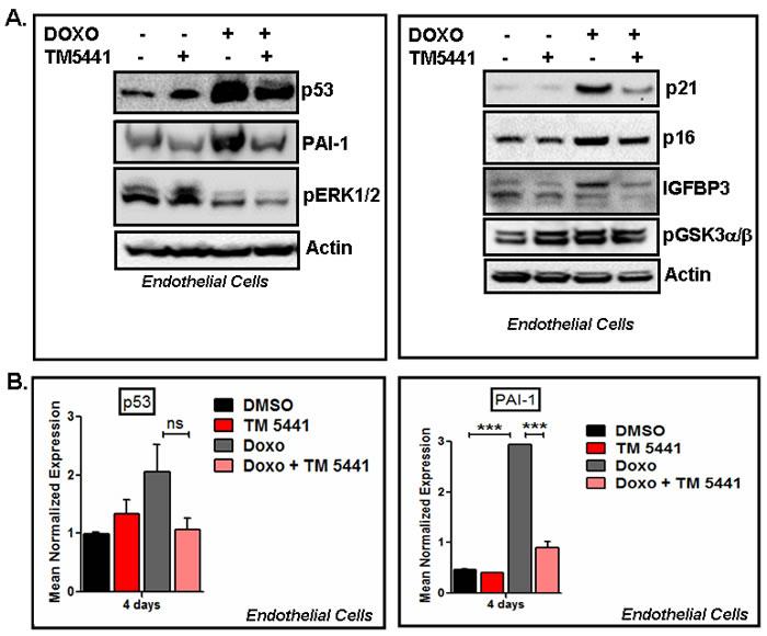 PAI-1 inhibitor TM5441 inhibits Doxorubicin-induced senescence regulators in endothelial cells.