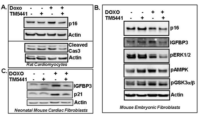 PAI-1 inhibitor TM5441 inhibits Doxorubicin-induced senescence regulators in cardiomyocytes and fibroblasts.